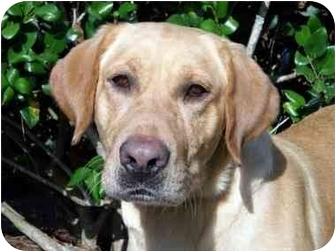 Labrador Retriever Dog for adoption in Mobile, Alabama - Shaq