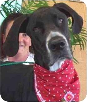 Great Dane Dog for adoption in Las Vegas, Nevada - Flex