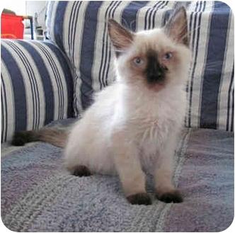 Ragdoll Kitten for adoption in Davis, California - Ghiradelli
