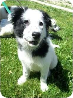 Border Collie Mix Puppy for adoption in Gilbert, Arizona - LUCAS