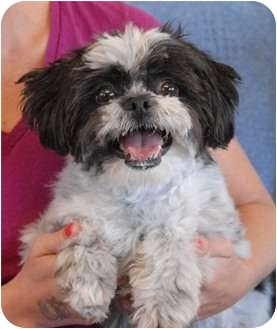 Shih Tzu Dog for adoption in Las Vegas, Nevada - Lily