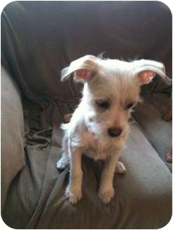 Terrier (Unknown Type, Small) Mix Puppy for adoption in Winchester, California - Ava