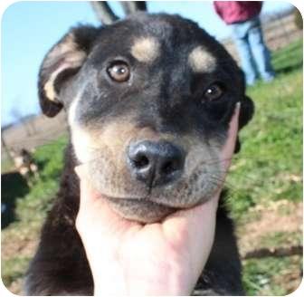 Australian Shepherd/Rottweiler Mix Puppy for adoption in Portland, Maine - Teddy Bear