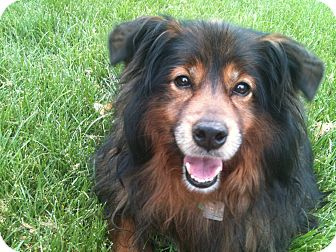 Sheltie, Shetland Sheepdog/Australian Shepherd Mix Dog for adoption in Hilliard, Ohio - Anna