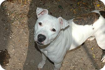 American Pit Bull Terrier Dog for adoption in San Antonio, Texas - lola