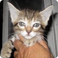 Adopt A Pet :: Prada - Dallas, TX