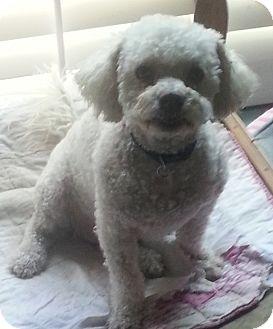 Poodle (Miniature) Mix Dog for adoption in Arcadia, California - Mona
