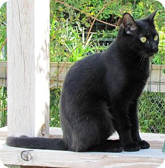 Bombay Cat for adoption in Port St. Joe, Florida - Gweneth