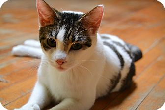 Domestic Shorthair Cat for adoption in Brooklyn, New York - Patchee