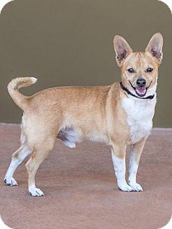 Chihuahua Mix Dog for adoption in Mesa, Arizona - NORMAN 3 YR CHIHUAHUA MALE