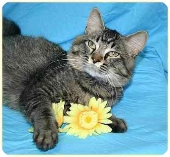 Domestic Mediumhair Cat for adoption in Ladysmith, Wisconsin - Hudson