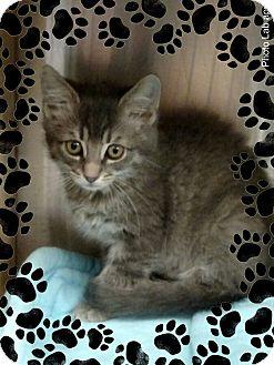 Domestic Shorthair Kitten for adoption in Pueblo West, Colorado - Franki