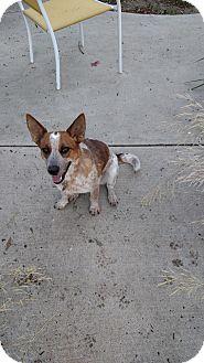 Australian Cattle Dog/Corgi Mix Dog for adoption in Simi Valley, California - Dolores