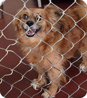 Pomeranian Mix Dog for adoption in Newburgh, Indiana - Momo