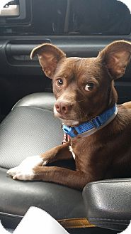 Chihuahua/Terrier (Unknown Type, Small) Mix Dog for adoption in Los Angeles, California - MAC