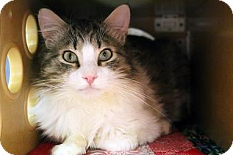 Domestic Shorthair Cat for adoption in Bellevue, Washington - Howie