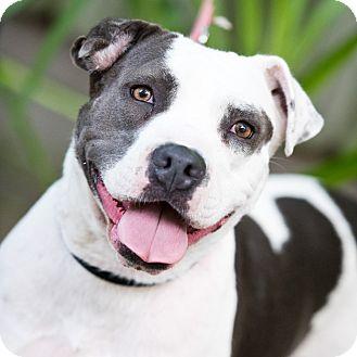 Pit Bull Terrier/Staffordshire Bull Terrier Mix Dog for adoption in Houston, Texas - Angel