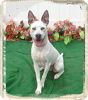 Australian Cattle Dog Mix Puppy for adoption in Marietta, Georgia - ANGEL