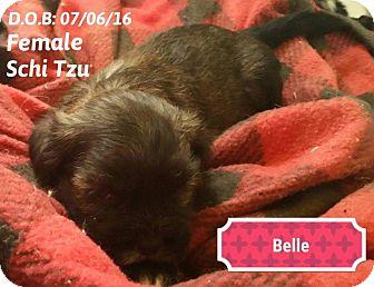 Shih Tzu Mix Puppy for adoption in DeForest, Wisconsin - Belle
