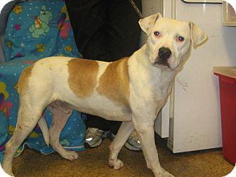 American Bulldog Dog for adoption in Kankakee, Illinois - Murphy