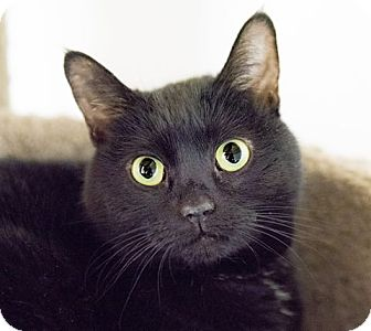 Domestic Shorthair Cat for adoption in Seville, Ohio - Frannie