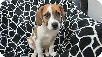 Beagle Mix Puppy for adoption in Bartonsville, Pennsylvania - Fritz