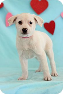 Labradoodle Mix Puppy for adoption in Waldorf, Maryland - Laura