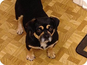 Pug/Dachshund Mix Dog for adoption in St. Catharines, Ontario - Cupcake