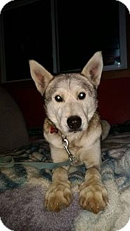 Siberian Husky/Shepherd (Unknown Type) Mix Dog for adoption in Cavan, Ontario - Vin