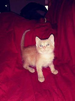 Domestic Shorthair Kitten for adoption in Lewistown, Pennsylvania - George (baby boy)