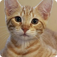 Domestic Shorthair Cat for adoption in Tallahassee, Florida - Bodie
