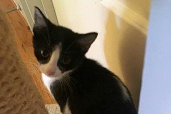 Domestic Shorthair Kitten for adoption in Durham, North Carolina - Brenna