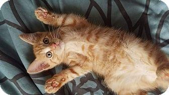 Domestic Shorthair Kitten for adoption in Athens, Georgia - Arya Stark