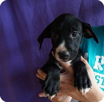 Beagle Mix Puppy for adoption in Oviedo, Florida - Sam,