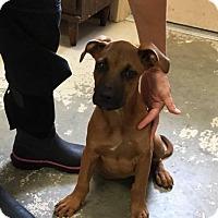 Adopt A Pet :: Striker - Rexford, NY