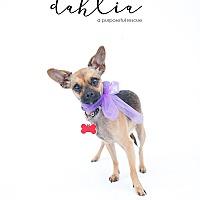 Adopt A Pet :: Dahlia - Los Angeles, CA