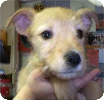 Terrier (Unknown Type, Small)/Yorkie, Yorkshire Terrier Mix Puppy for adoption in Princeton, Indiana - Spirit