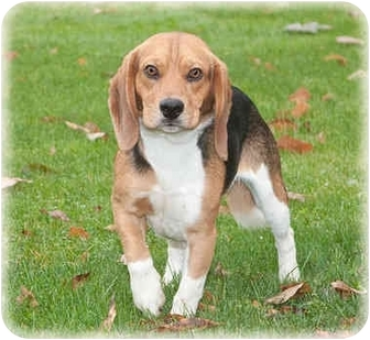 Beagle Dog for adoption in Howell, Michigan - Max