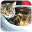 Photo 1 - Domestic Shorthair Cat for adoption in Palatine, Illinois - TINSEL