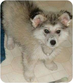 Husky/Shepherd (Unknown Type) Mix Puppy for adoption in Spruce Grove, Alberta - Easton