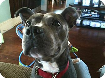 American Pit Bull Terrier/American Staffordshire Terrier Mix Dog for adoption in Roaring Spring, Pennsylvania - Flex