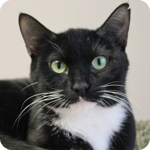 Domestic Shorthair Cat for adoption in Naperville, Illinois - Pinky