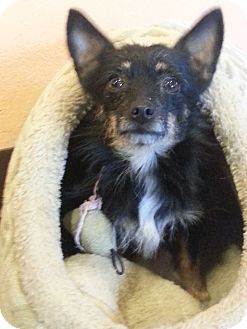 Yorkie, Yorkshire Terrier/Chihuahua Mix Dog for adoption in Allentown, Pennsylvania - Carli $50 off