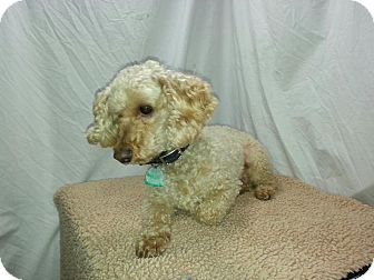 Poodle (Toy or Tea Cup) Dog for adoption in Ogden, Utah - Buddy