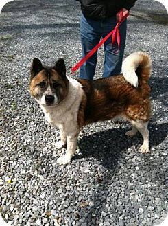 Akita Mix Dog for adoption in Toms River, New Jersey - Suto