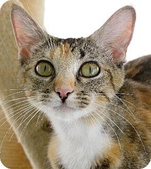 Domestic Shorthair Cat for adoption in Van Nuys, California - Jessica