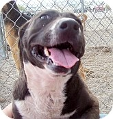 Corgi/Pit Bull Terrier Mix Dog for adoption in Silver City, New Mexico - Chuggy