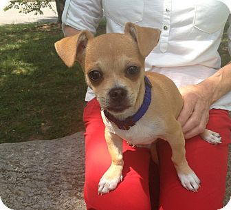 Chihuahua/Dachshund Mix Puppy for adoption in Allentown, Pennsylvania - Lucas
