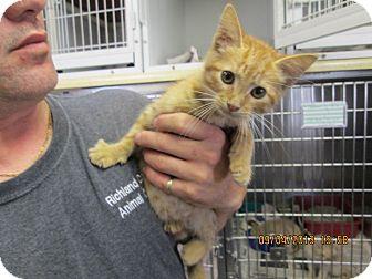 Domestic Mediumhair Kitten for adoption in Olney, Illinois - Holden