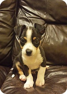 Chihuahua/Jack Russell Terrier Mix Puppy for adoption in Weatherford, Texas - *JACK*